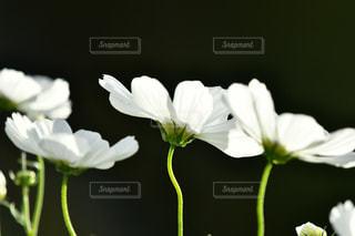 植物の白い花の写真・画像素材[2511831]