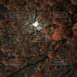 桜越しの月の写真・画像素材[1347966]