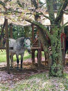 桜と白馬の写真・画像素材[1347907]