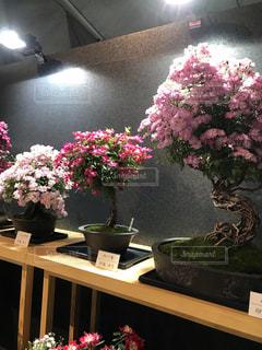 ローズフェスタ 薔薇の盆栽の写真・画像素材[2135808]
