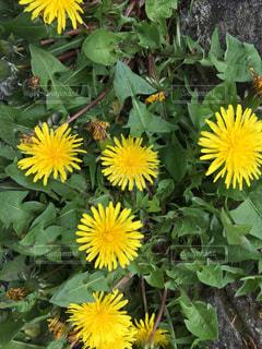 黄色の花の写真・画像素材[1354232]