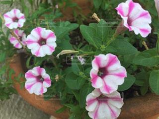 植物にピンクの花の写真・画像素材[1365661]