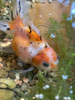 大きすぎる金魚の写真・画像素材[2644312]
