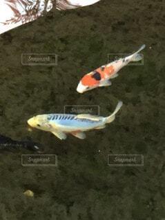 魚のクローズアップの写真・画像素材[3867279]