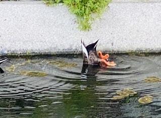 水の中を泳ぐ鳥の写真・画像素材[4329025]