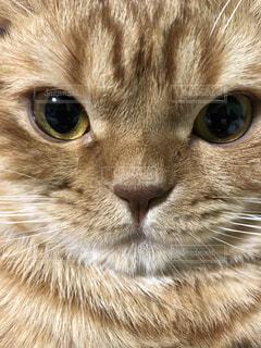 猫 ハル 真顔の写真・画像素材[1348831]