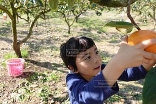 柿とりをする男の子の写真・画像素材[1381340]