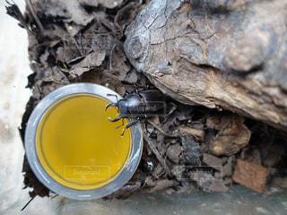 昆虫ゼリーを食べるクワガタの写真・画像素材[1556132]