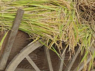 収穫したてのお米の写真・画像素材[1556158]