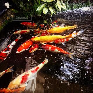 鯉の写真・画像素材[1359696]
