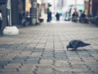 鳩の写真・画像素材[1349615]