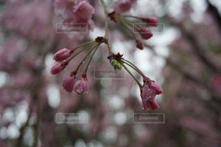 桜と雫の写真・画像素材[1350603]