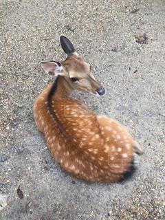 見返り鹿の写真・画像素材[1350759]