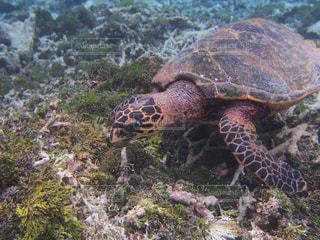 海藻を食べるカメの写真・画像素材[1357765]