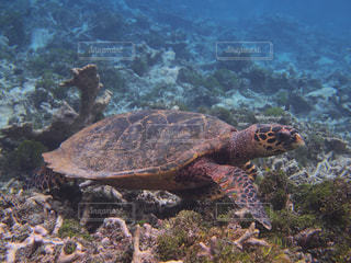 海藻を食べるカメの写真・画像素材[1357788]