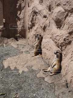 岩の上に座っているミーアキャットの写真・画像素材[1360931]