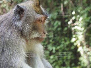 凛々しい猿の写真・画像素材[1360983]
