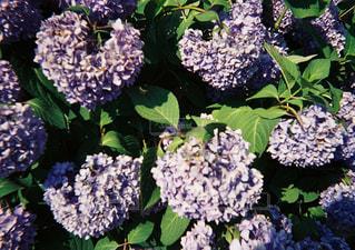 近所の紫陽花の写真・画像素材[1350873]