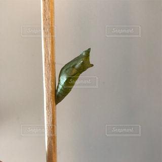 アゲハチョウのサナギの写真・画像素材[1409120]
