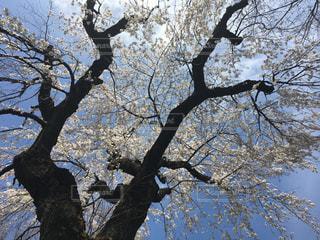 井の頭公園の桜の写真・画像素材[1410408]