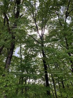 木漏れ日さしこむ木立の写真・画像素材[4560756]