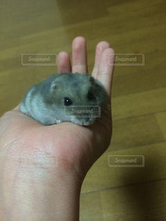 手の齧歯動物の写真・画像素材[1351691]