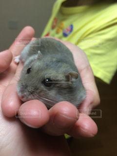 小さな齧歯動物を持っている手の写真・画像素材[1351692]