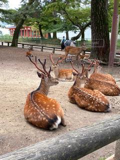 横わる鹿の群れの写真・画像素材[4547771]