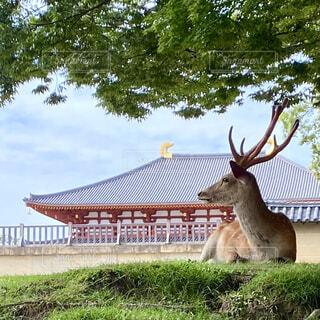 横わる鹿の写真・画像素材[4547770]
