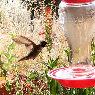 ハチドリの羽ばたきの写真・画像素材[1352564]