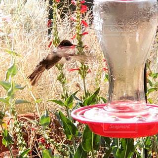 ハチドリの羽ばたきの写真・画像素材[1352565]