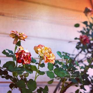 ひっそりと咲くバラの写真・画像素材[1354480]