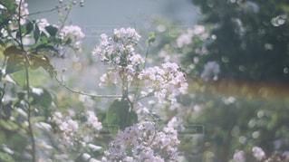 サルスベリの写真・画像素材[1505275]