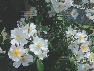 白い花の写真・画像素材[1353115]