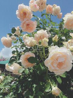 ピンクの薔薇の写真・画像素材[1353116]