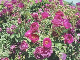 紫の薔薇の写真・画像素材[1353117]
