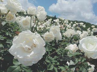 白薔薇と青い空の写真・画像素材[1353118]