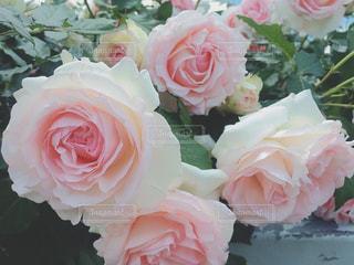 ピンクの薔薇の写真・画像素材[1353119]