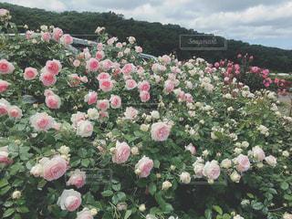 薔薇園の写真・画像素材[1353122]