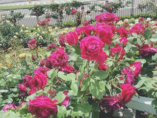 薔薇園の写真・画像素材[1353125]