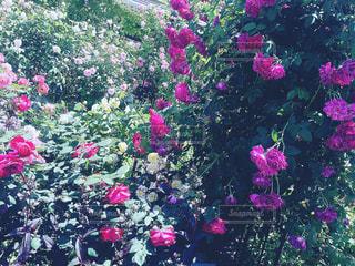 魅惑的な薔薇園の写真・画像素材[1353127]