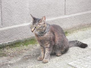 金沢の町で見かけた 座っている猫の写真・画像素材[1354518]
