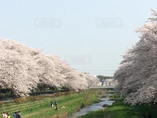 野川の桜の写真・画像素材[1361355]