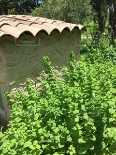 庭のミントの写真・画像素材[1361363]