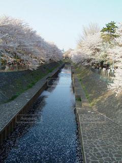 桜満開の川での写真・画像素材[1434544]