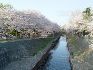 石神井川の桜の写真・画像素材[1435681]