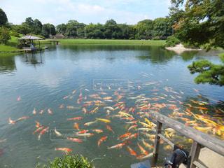 錦鯉が泳ぐ池の写真・画像素材[1812921]