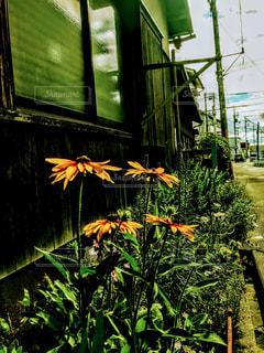 古屋の花の写真・画像素材[1355935]