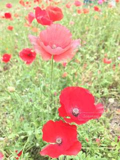 ポピーの花の写真・画像素材[1358351]