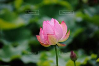 咲きかけのハスの写真・画像素材[1356604]
